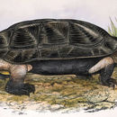 Image of Indian black turtle