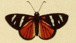 Image of <i>Entheus eumelus</i> Cramer 1777