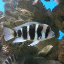 Image of Humphead Cichlid