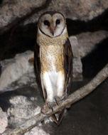 Image of Sulawesi Masked Owl