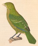 Image of green catbird