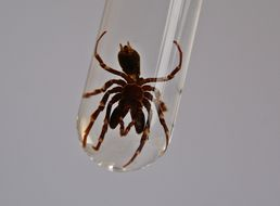 Image of Purse-web spider