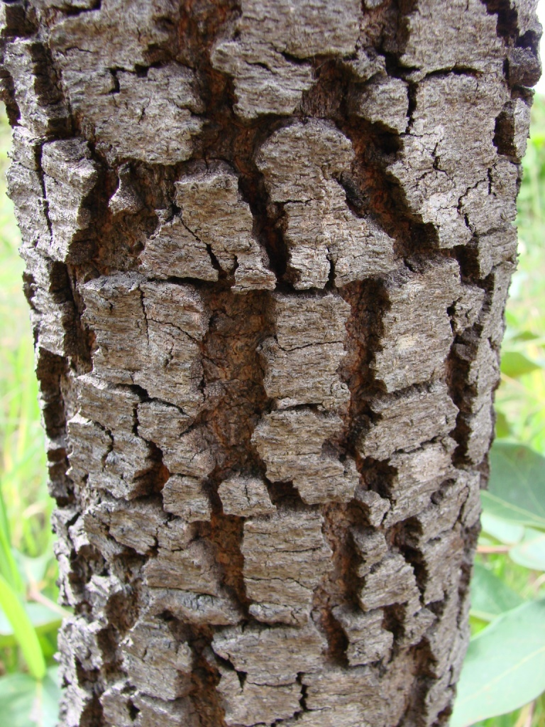 Image of stryphnodendron