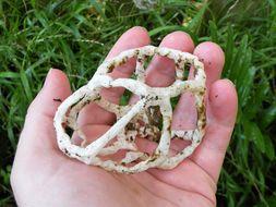 Image of Basket fungus