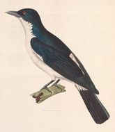 Image of Pied Cuckooshrike