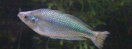 Image of Australian rainbowfish