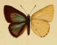 Image of <i>Philiris agatha</i> (Grose-Smith 1899)