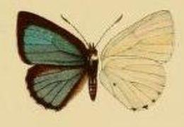 Image of <i>Philiris cyana</i> (Bethune-Baker 1908)