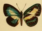 Image of <i>Waigeum dinawa</i> Bethune-Baker 1908