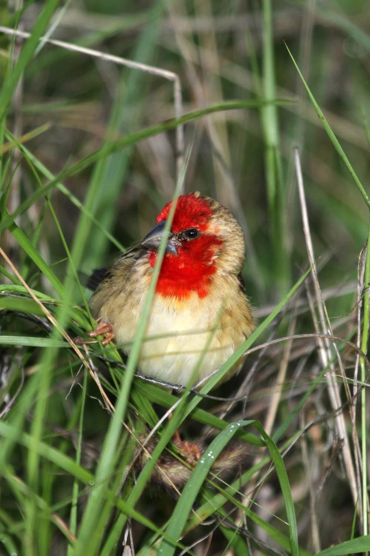 Image of <i>Quelea cardinals</i>