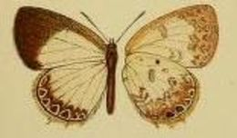 Image of <i>Cupidesthes mimetica</i> (Druce 1910)