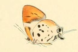 Image of <i>Araotes lapithis</i> (Moore 1857)