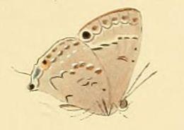 Image of <i>Leptomyrina phidias</i> (Fabricius 1793)
