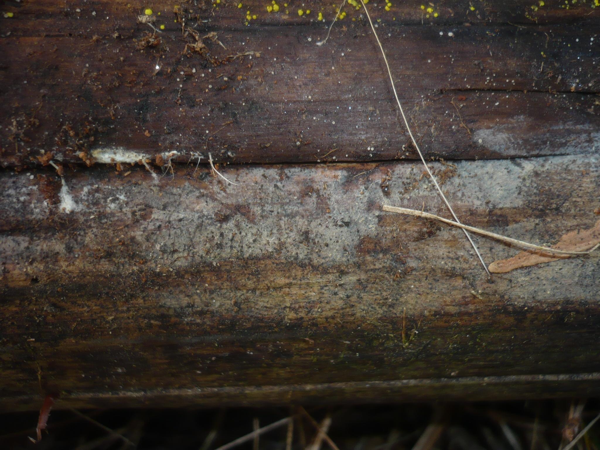 Image of <i>Ceratobasidium cornigerum</i> (Bourdot) D. P. Rogers 1935