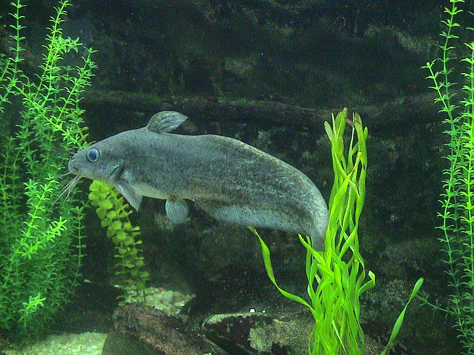 Image of Eel-tailed catfish