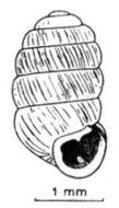 Image of <i>Pupilla triplicata</i> (S. Studer 1820)