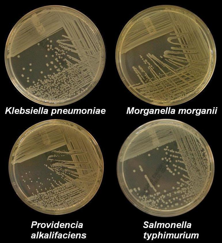 Image of <i>Klebsiella pneumoniae</i>