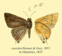 Image of <i>Rapala caerulea</i> (Bremer & Grey 1853)
