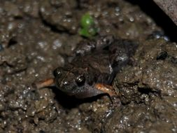 Image of Palmated Chorus Frog
