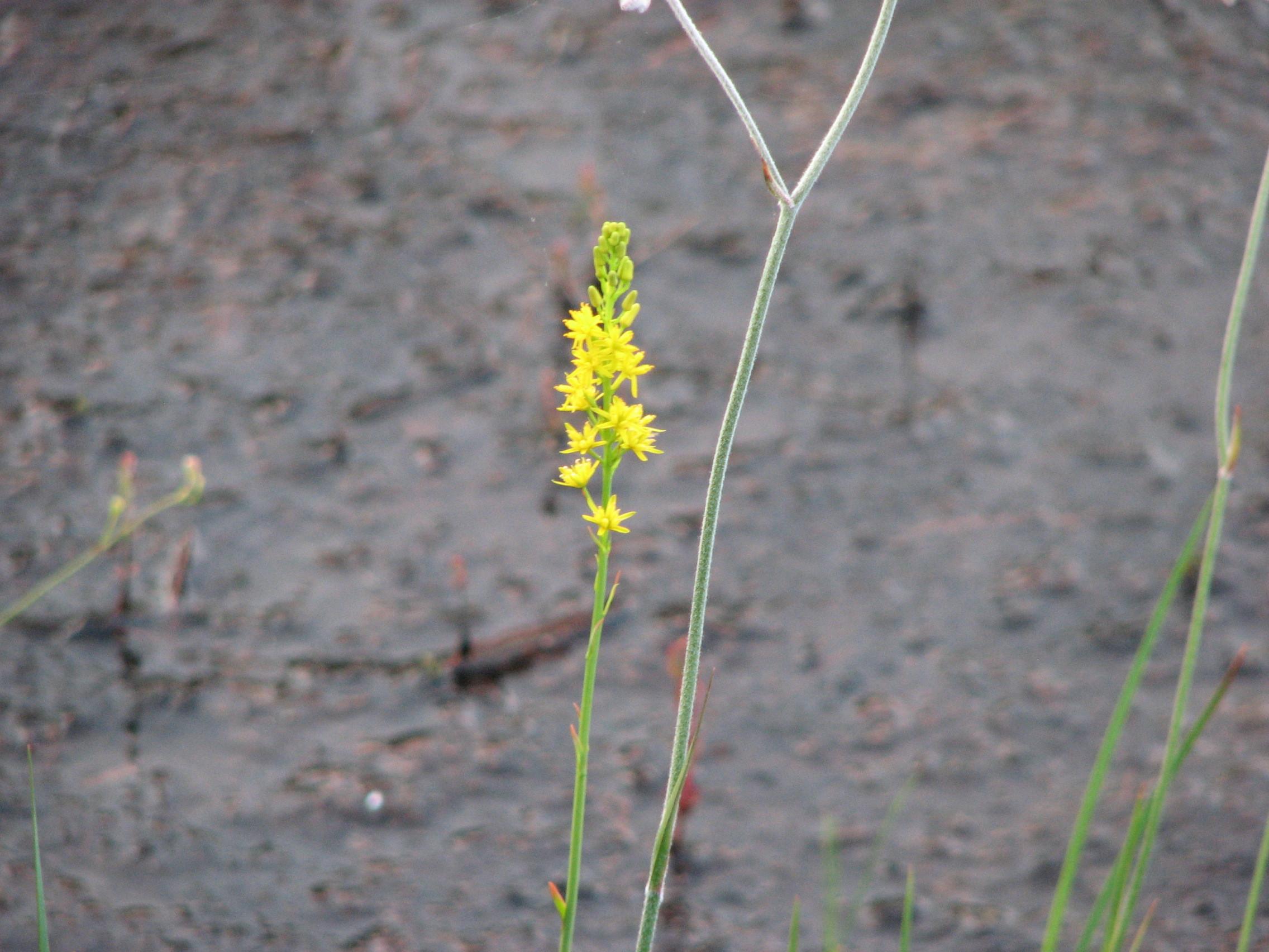 Image of yellow asphodel