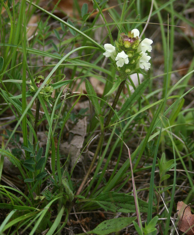 Image of <i>Prunella laciniata</i> (L.) L.