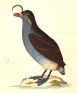 Image of Crested auklet