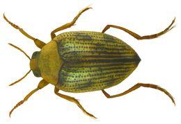 Image of <i>Haliplus ruficollis</i> (De Geer 1774) De Geer 1774