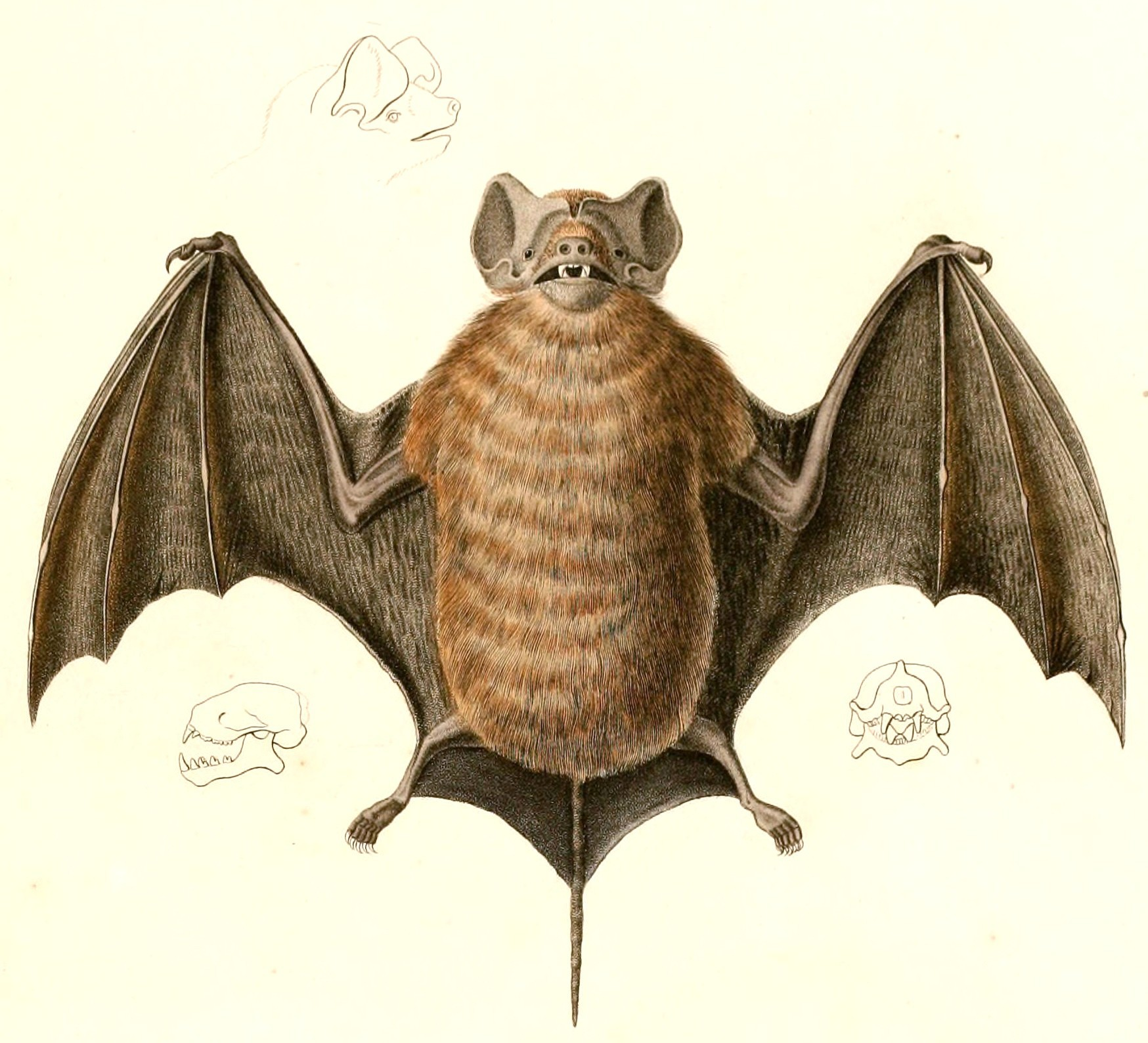 Image of Pallas's Mastiff Bat