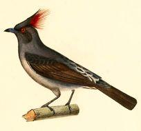 Image of Red-crested Cotinga