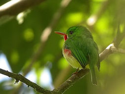 Image of Jamaican Tody
