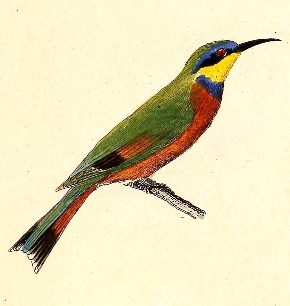 Image of Blue-breasted Bee-eater