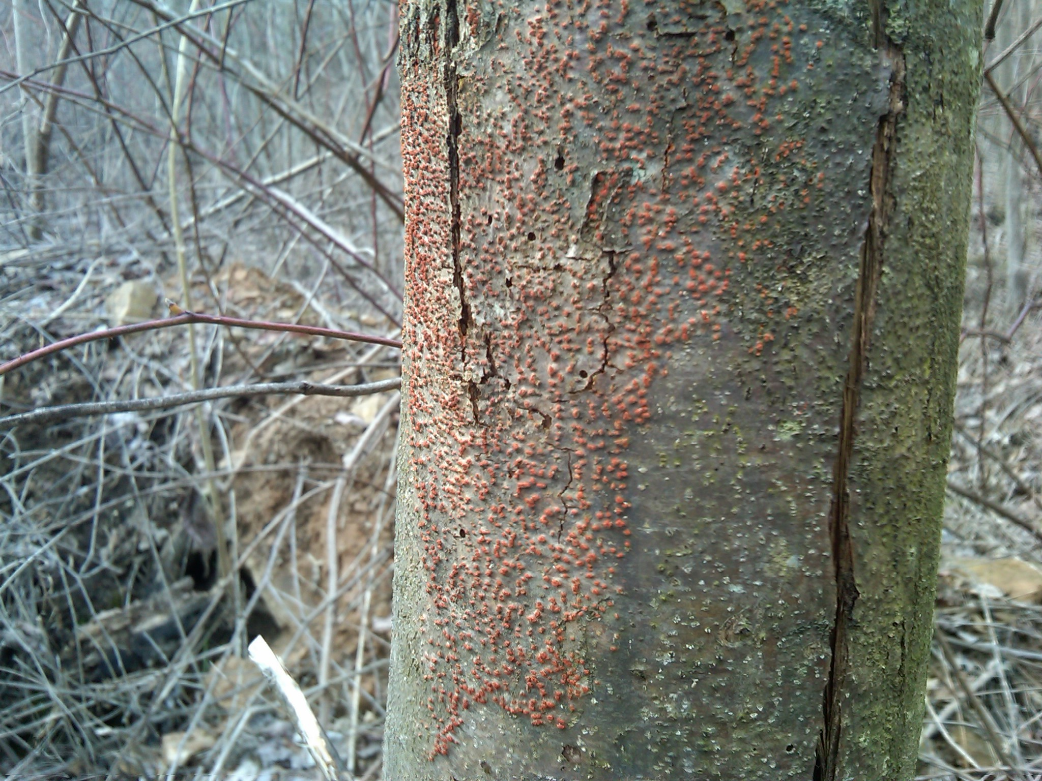 Image of Chestnut blight