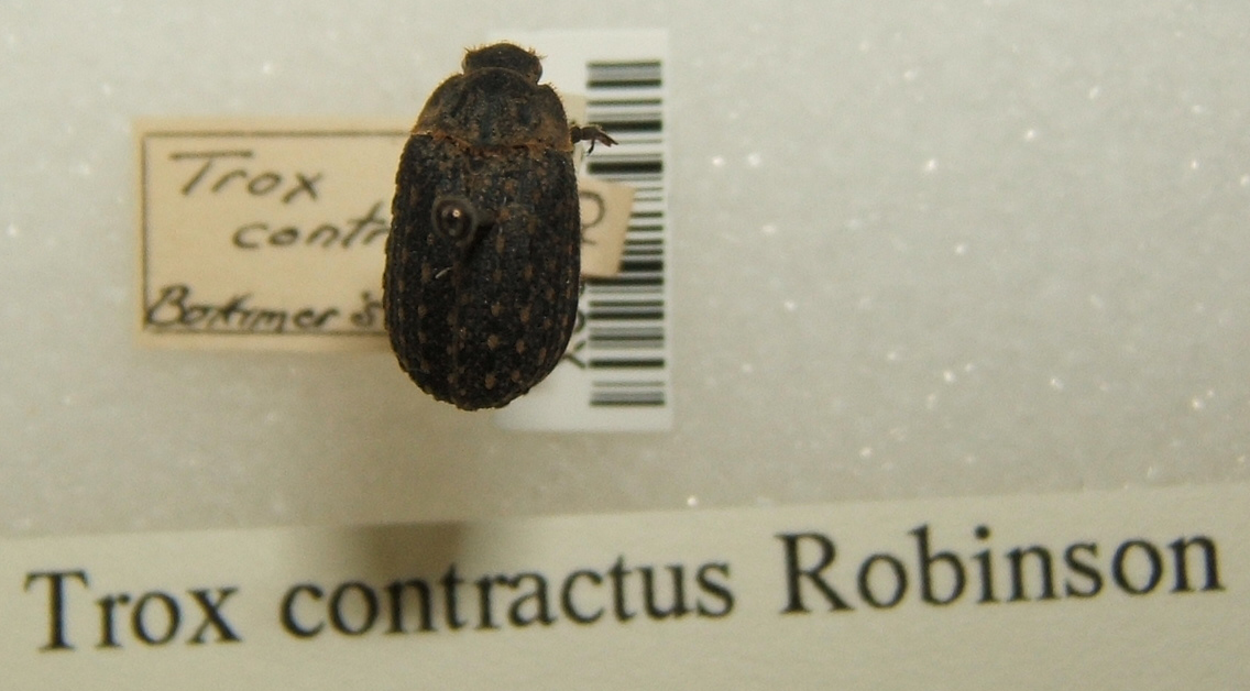Image of <i>Trox contractus</i> Robinson 1940