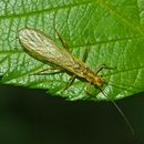 Image of perlodid stoneflies