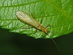 Image of <i>Isoperla carbonarias</i>