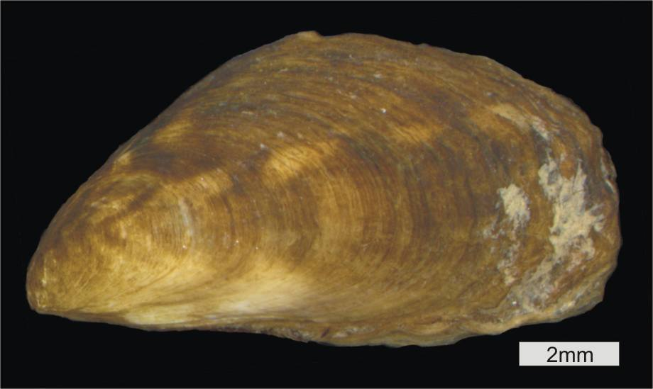 Image of Conrad's False Mussel