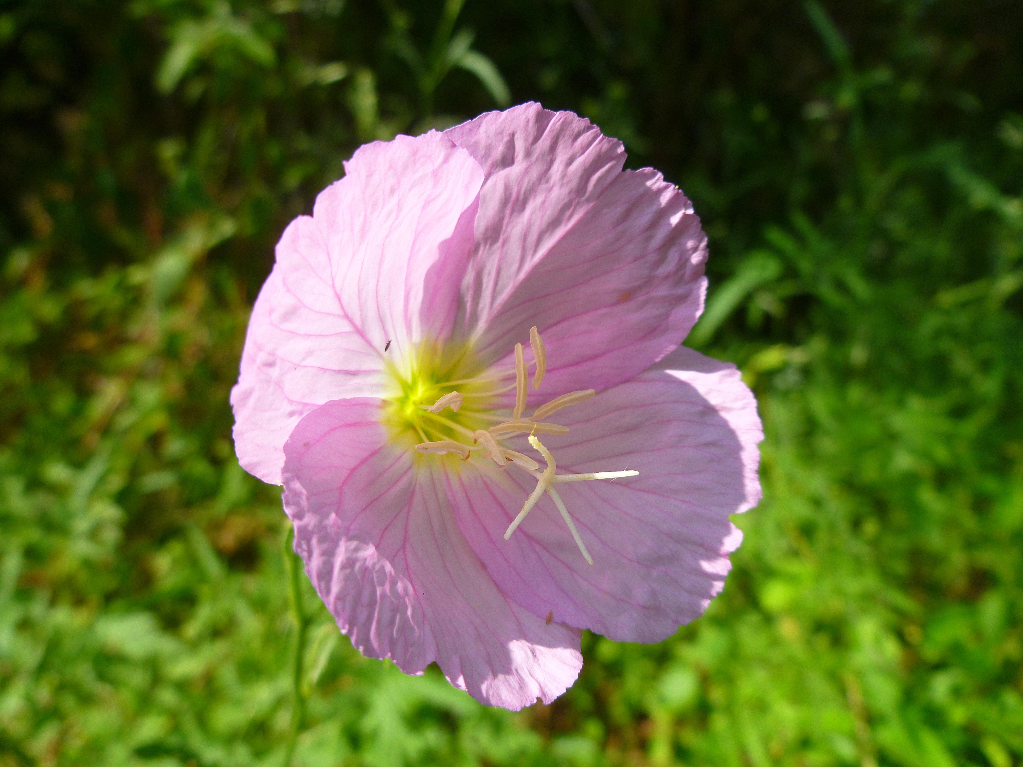 Image of rose evening primrose