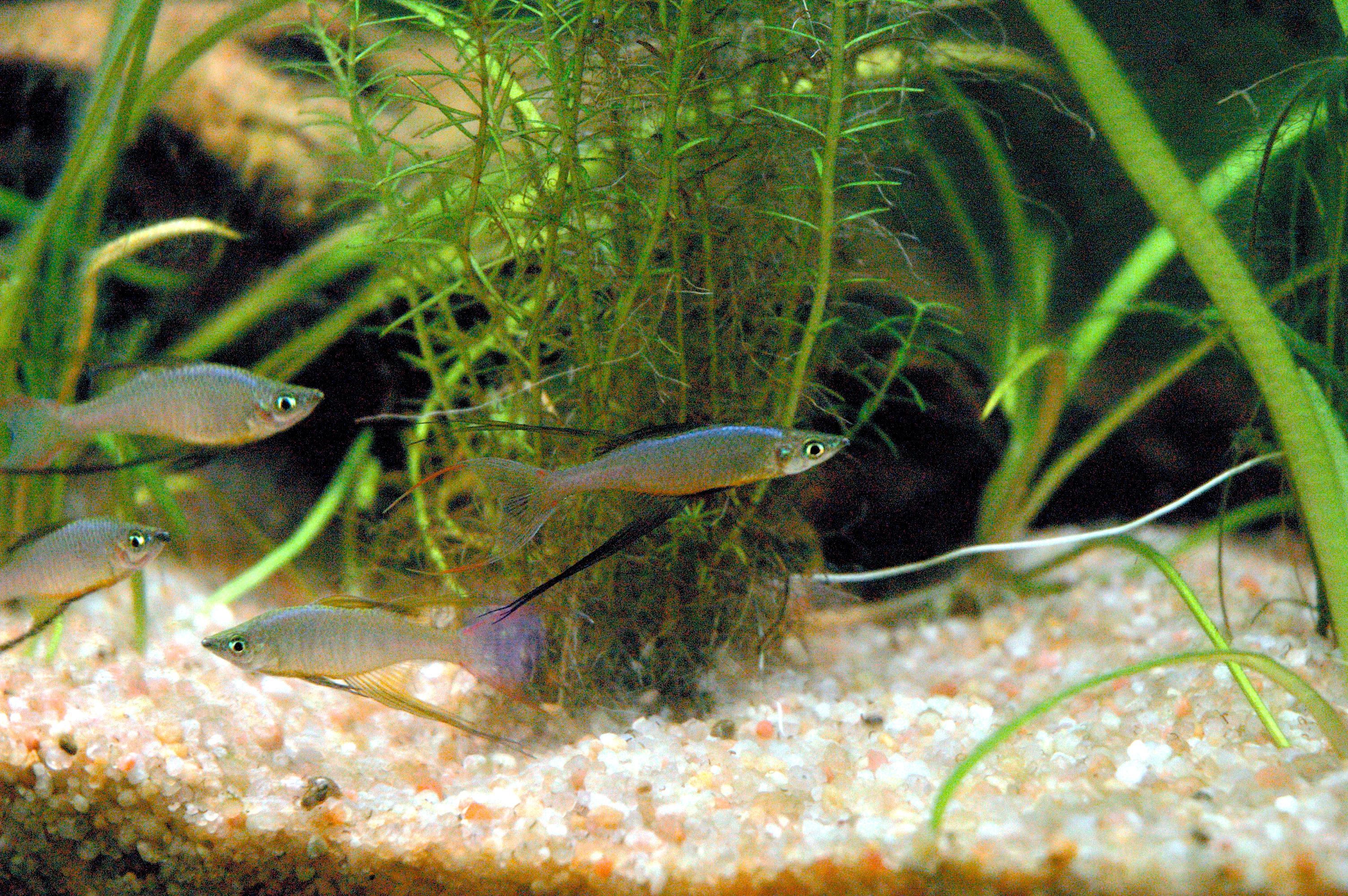 Image of Threadfin rainbowfish