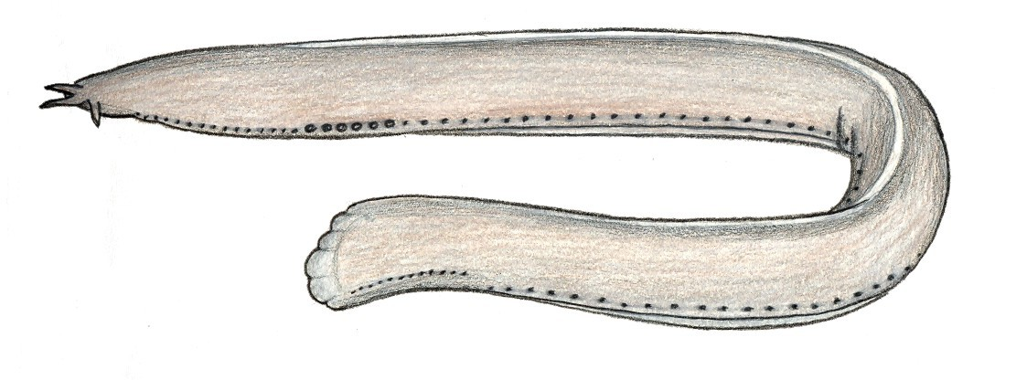 Image of <i>Eptatretus minor</i> Fernholm & Hubbs 1981
