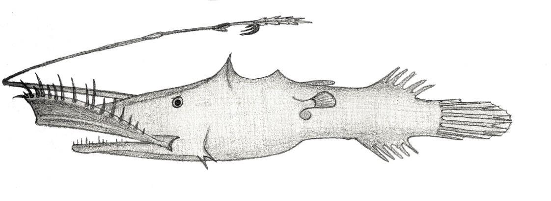 Image of <i>Lasiognathus saccostoma</i> Regan 1925