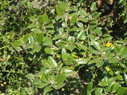 Image of Lemon-thorn
