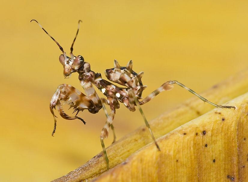 Image of African flower mantis