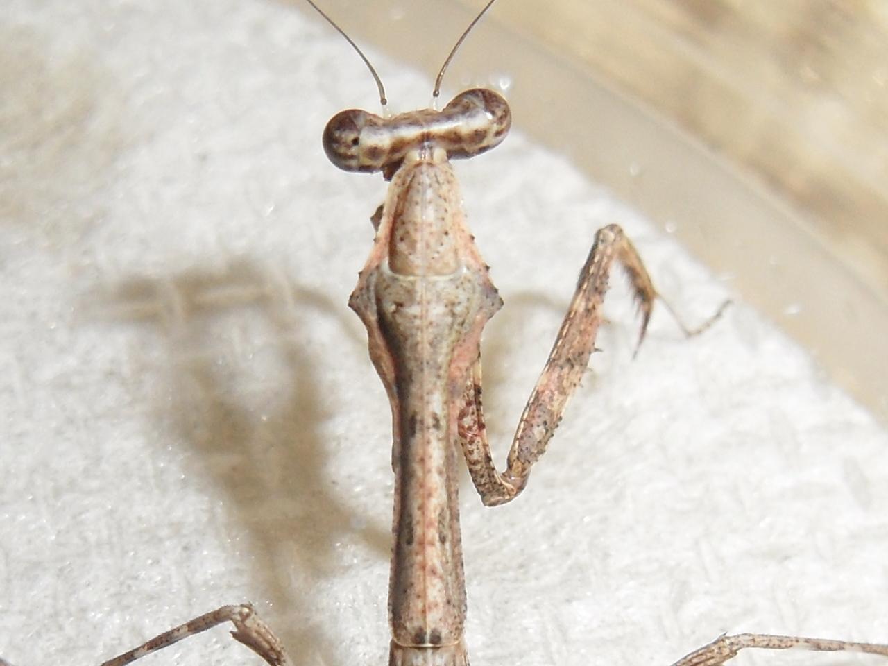 Image of Malaysian dead leaf mantis