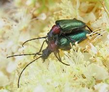 Image of <i>Carilia virginea</i>
