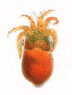 Image of golden bobtail