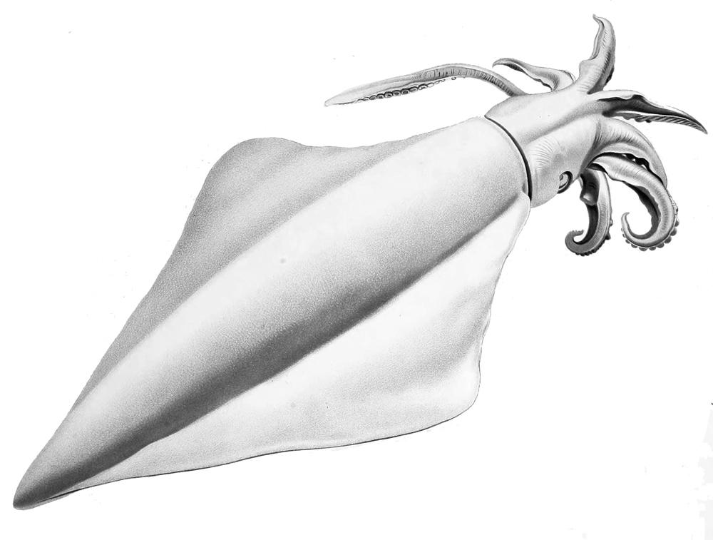 Image of Diamondback squid