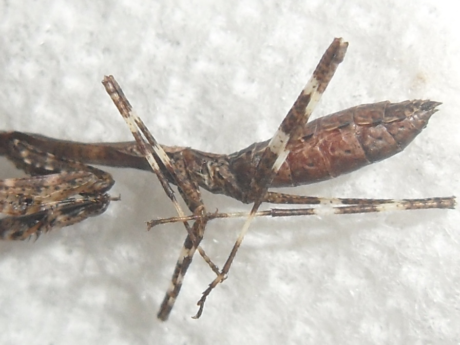 Image of Malaysian dead leaf mantis