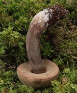 Image of <i>Porphyrellus porphyrosporus</i>