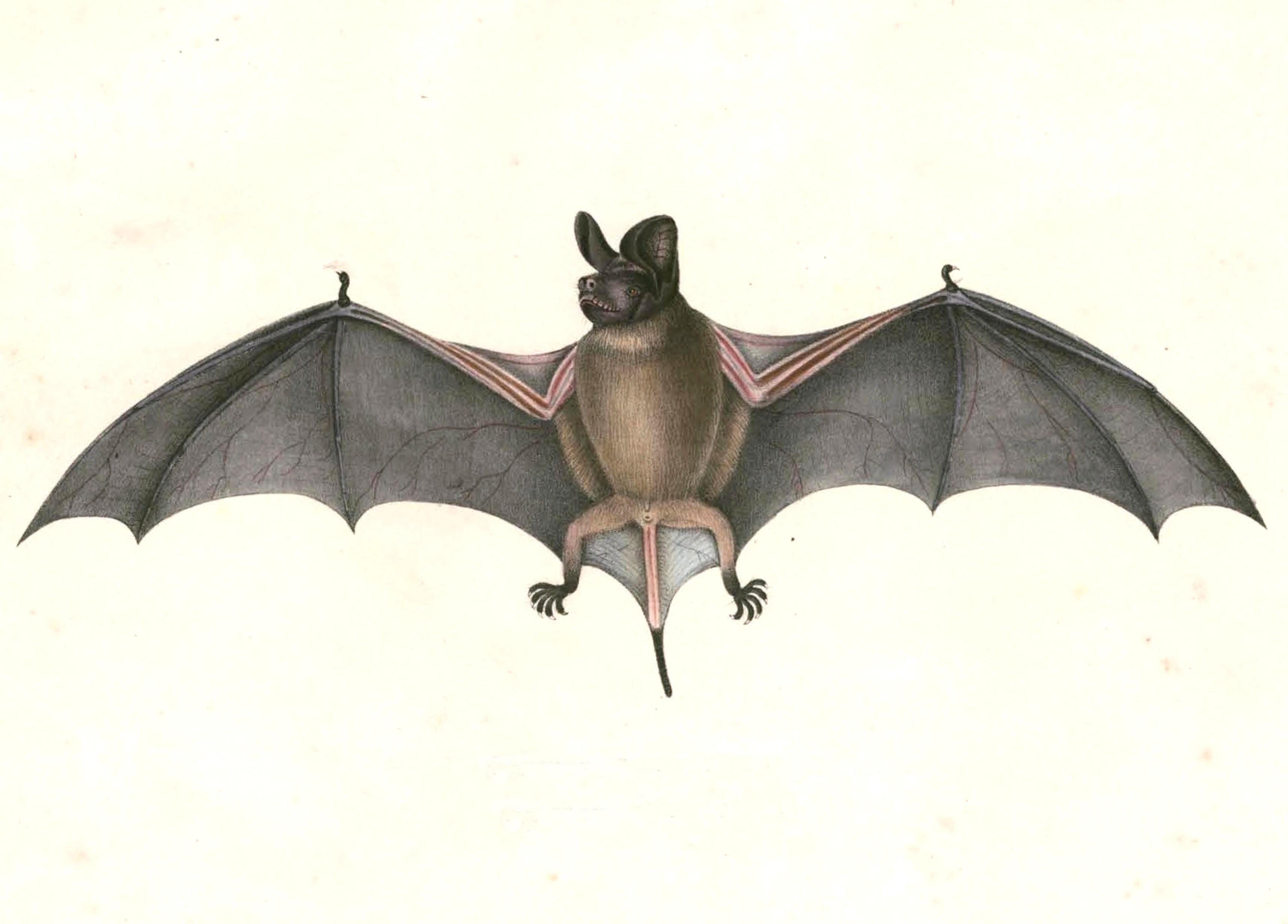 Image of Wrinkle-lipped Bat