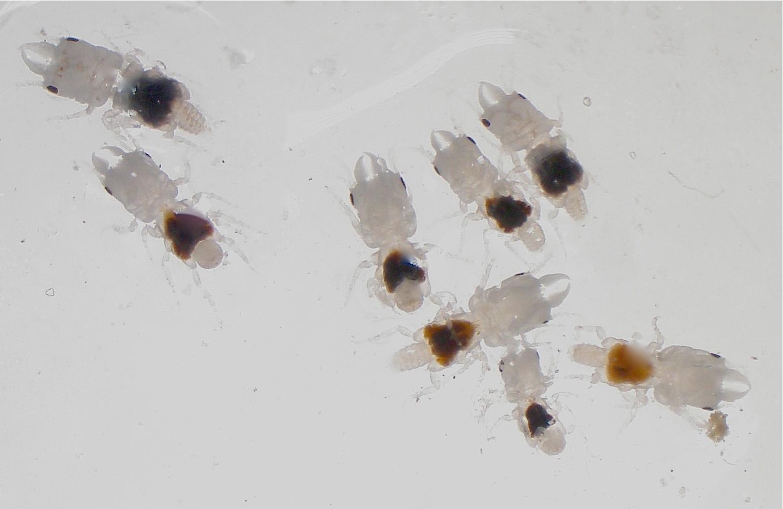 Image of Marley's gnathiid (a crustacean)